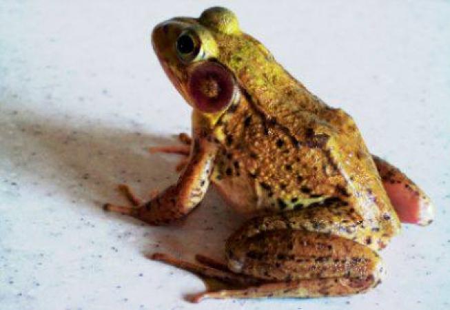 Вид жаба